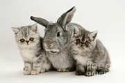 Cute Kitten Photo Posters - Silver Exotic Kittens And Silver Lop Poster by Jane Burton