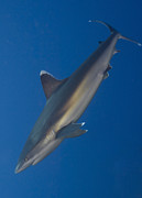 Elasmobranch Prints - Silvertip Shark, Kimbe Bay, Papua New Print by Steve Jones