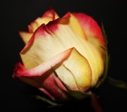Peach Roses Prints - Single Rose Print by Cathie Tyler