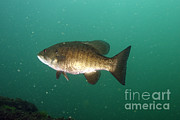 Bass Framed Prints - Smallmouth Bass Framed Print by Ted Kinsman