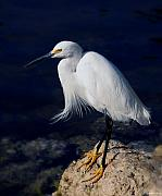 Snowy Egret Originals - Snowy Egret by Joseph G Holland