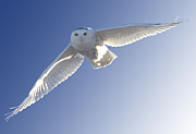 Owl Eyes Prints - Snowy Owl in Flight Print by Mark Duffy