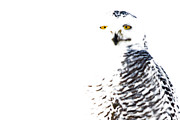 Avian Posters - Snowy Owl. Poster by Michel Soucy