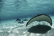 Southern Stingrays Framed Prints - Southern Stingray Framed Print by Georgette Douwma
