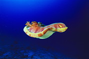 Spanish Dancer Photos - Spanish Dancer Sea Slug by Alexis Rosenfeld