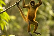 Spider Species Framed Prints - Spider monkey (Ateles Framed Print by Roy Toft