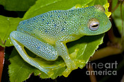 Featured Art - Spiny Glass Frog by Dante Fenolio