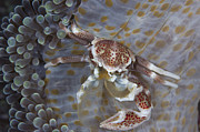 Malacostraca Framed Prints - Spotted Porcelain Crab Feeding Framed Print by Steve Jones