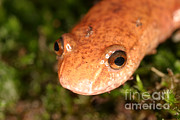 Salamanders Photos - Spring Salamander by Ted Kinsman