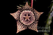 Smelly Framed Prints - Stapelia Flower Framed Print by Danté Fenolio