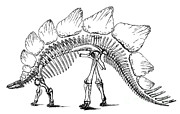 Pre-19th Photo Prints - Stegosaurus Print by Science Source