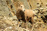 Big Horn Sheep Framed Prints - Strike A Pose Framed Print by Adam Jewell