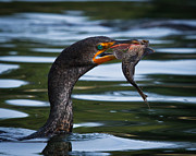 Phalacrocorax Auritus Prints - Success Print by Carl Jackson