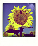 Puy De Dome Posters - Sunflower Poster by Bernard Jaubert