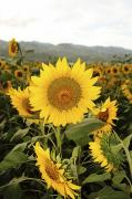Ski Art Photo Posters - Sunflower field Poster by Vince Cavataio - Printscapes