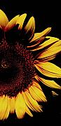 Sunflowers Digital Art - Sunflower series 09 by Amanda Barcon