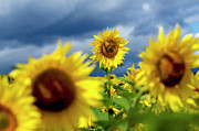 Asteraceae Prints - Sunflowers Print by Bernard Jaubert