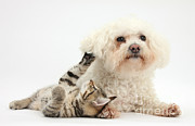 Animal Babies Posters - Tabby Kitten & Bichon Frise Poster by Mark Taylor