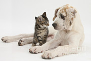Animal Babies Posters - Tabby Kitten & Great Dane Pup Poster by Mark Taylor