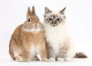 Cat Portraits Prints - Tabby-point Birman Cat And Rabbit Print by Mark Taylor