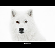 Arctic Wolf Photos - Take the pose by PNDT Photo