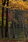Oklahoma Landscapes Posters - Tall Cypress Trees Poster by Iris Greenwell