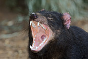 Australian Open Metal Prints - Tasmanian Devil Metal Print by Tony Camacho
