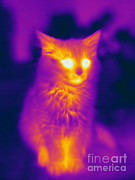 Felis Domesticus Posters - Thermogram Of A Cat Poster by Ted Kinsman