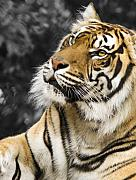 Svetlana Sewell Framed Prints - Tiger Framed Print by Svetlana Sewell