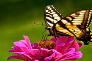 Feeding Photos - Tiger Swallowtail on Zinnia by Thomas R Fletcher