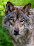 Black. Timber Wolf Photography Prints - Timber Wolf Portrait Print by Michael Cummings