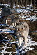 Pups Photos - Timber Wolves by Michael Cummings