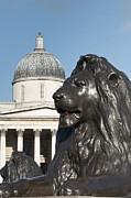 Gallary Prints - Trafalgar Square Lion Print by Andrew  Michael