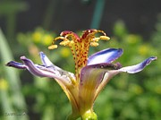 Mccombie Photos - Tricyrtis named Taipei Silk by J McCombie