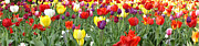 Pittsburgh Art - Tulip Garden University of Pittsburgh  by Thomas R Fletcher