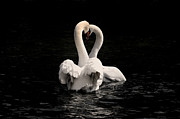 Black Swans Framed Prints - Two swans Framed Print by Mats Silvan