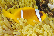 Red Sea Anemonefish Posters - Twoband Anemonefish Poster by Alexis Rosenfeld