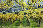 Grapevines Photos - Vineyards and Olive Groves by Jeremy Woodhouse