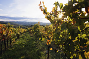 Grapevines Prints - Vineyards Print by Jeremy Woodhouse