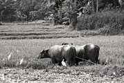 Plough Prints - Water buffalo Print by Jane Rix
