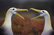 Espanola Framed Prints - Waved Albatross Phoebastria Irrorata Framed Print by Tui De Roy