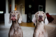 Two By Two Framed Prints - 2 Weimaraners Framed Print by Image by Erin Vey