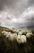 Sheep Farm Prints - Welsh lamb Print by Angel  Tarantella