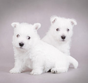White Maltese Photos - West Highland White Terrier puppies  by Waldek Dabrowski