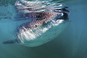 Open-mouthed Posters - Whale Shark Poster by Clay Coleman