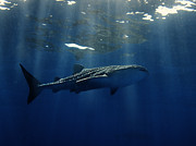 Animal Sport Prints - Whale shark Print by Ulrich Schade