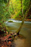 Tree Roots Posters - Whatcom Creek Poster by Idaho Scenic Images Linda Lantzy