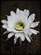 White Flower Photos - White Echinopsis   by Saija  Lehtonen