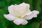 White Background Originals - White Rose With Pink Edge by Atiketta Sangasaeng