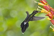 Coloured Plumage Prints - White-whiskered Hermit Hummingbird Print by Tony Camacho